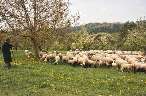 Schafe Schenk-20