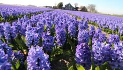 hyacinths-1244432-1920x1280