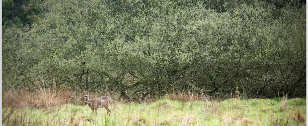 Een ree, betrapt tijdens het grazen