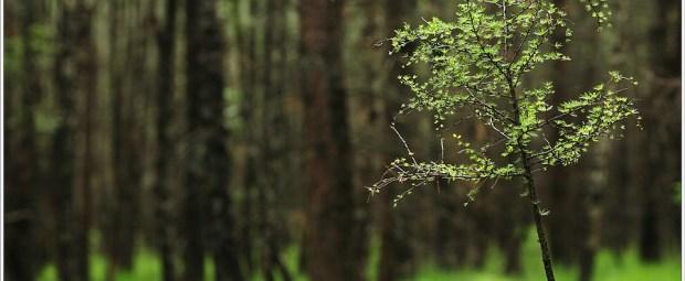 De lariks in het bos, geïsoleerd uit de omgeving door een brandpunt van 135mm en het diafragma f/2,0