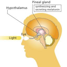 pineal gland, melatonin