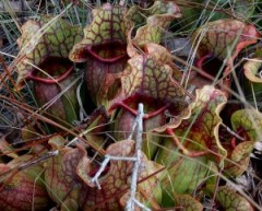 Sarracenia rosea at the site in Pensacola, FL. Photo by Mark Todd.
