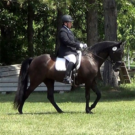 Naturally gaited TWH Gift of Freedom ridden by Jennifer Klitzke was named 2015 NWHA First Level Champion.