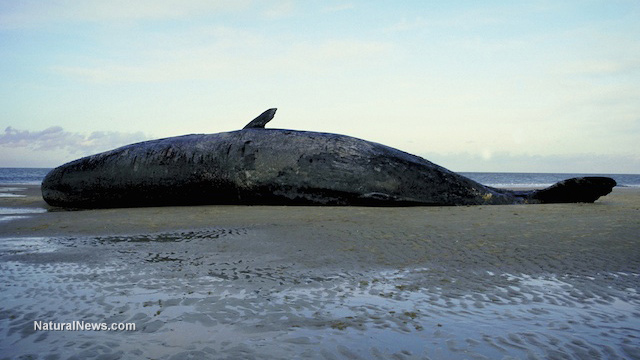http://i1.wp.com/www.naturalnews.com/gallery/640/Animals/Dead-Beached-Whale.jpg