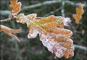 A thin dusting of ice on an autumn leaf