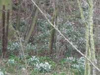 A good year for Snowdrops