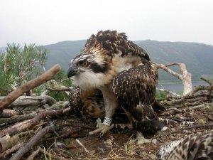 Keswick Osprey 2009 - Pic Ospreywatch