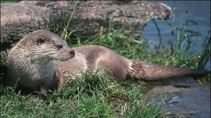 The project hopes to three year project to consolidate the existing populations of Otter. Pic Keith Cunningham