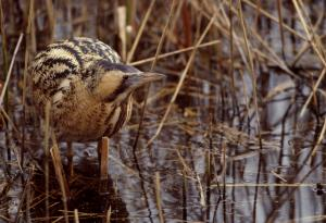 Bittern in reed bed - Pic Andy Hay (rspb-images.com)