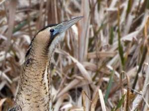 Bittern spotted in 2010. Pic Peter-Hewitt