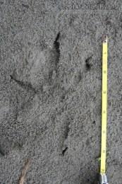 Bald Eagle Tracks