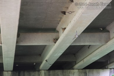 Cave Swallow Nests