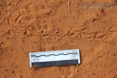 Ground Dove Tracks
