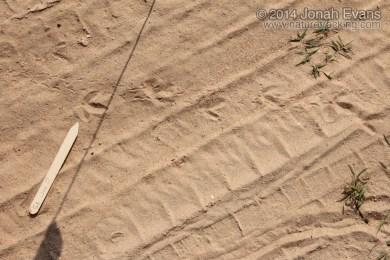 Killdeer Tracks