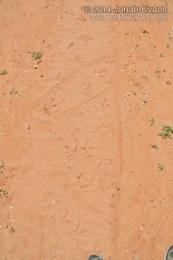 Turkey Tracks (Male Displaying)