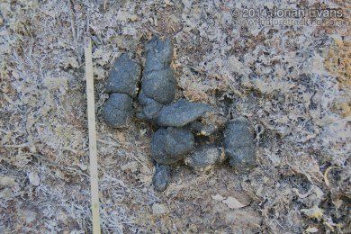 Mountain Lion Scat
