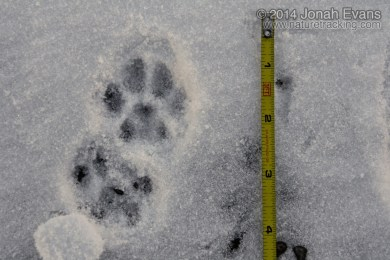 Housecat Tracks