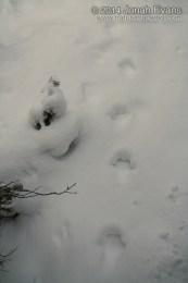Lynx Tracks