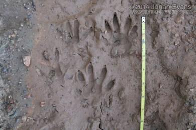 Crab-eating Raccoon Tracks