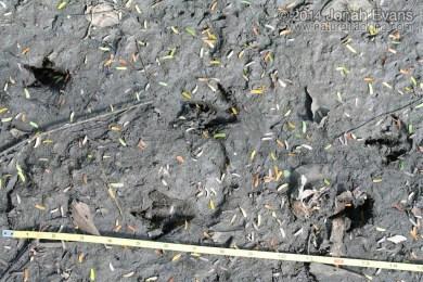 Central American Agouti Tracks