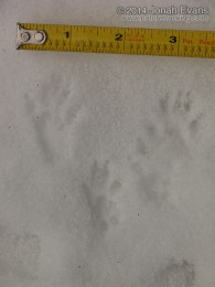 Douglas Squirrel Tracks