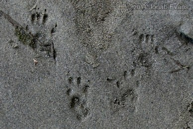 Eastern Gray Squirrel Tracks