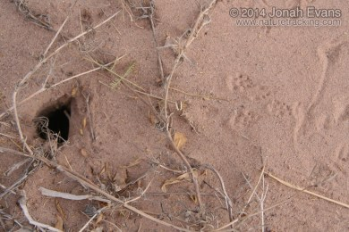 Pocket Mouse Tracks