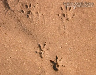 Rattus Sp. Tracks