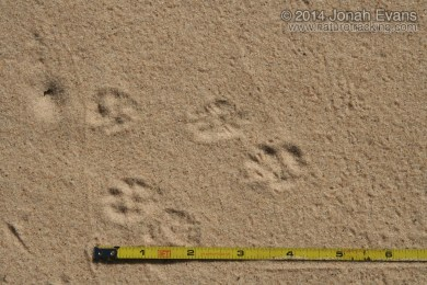 White-throated Woodrat Tracks