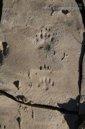 Hog-nosed Skunk Tracks