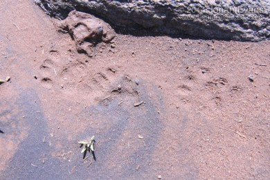 Spotted Skunk Tracks