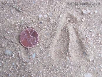 Blackbuck Antelope Tracks