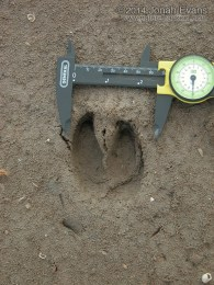 Feral Hog Tracks