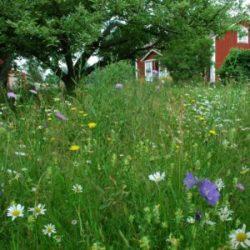 gräsfrö gräsmatta blommor Skånefrö Uppsala gödning