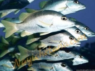 मछलियां