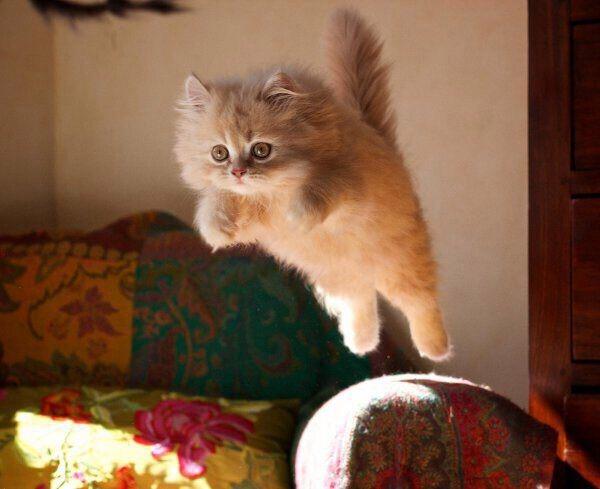 【猫画像】ふわふわが飛ぶ!