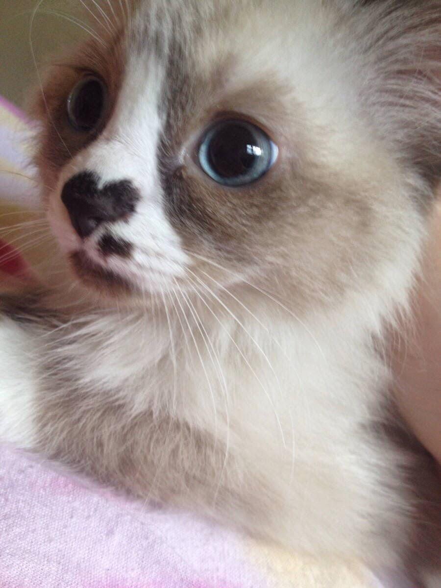 【猫画像】はなハート