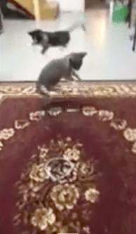 【猫動画】みんなでビックリ!!子猫が乗っているカーペットを動かすと・・・!?