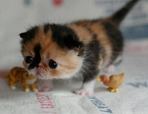 【猫画像】小っちゃかわいい