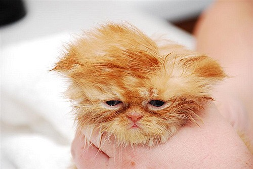 【猫画像】入浴後・・・