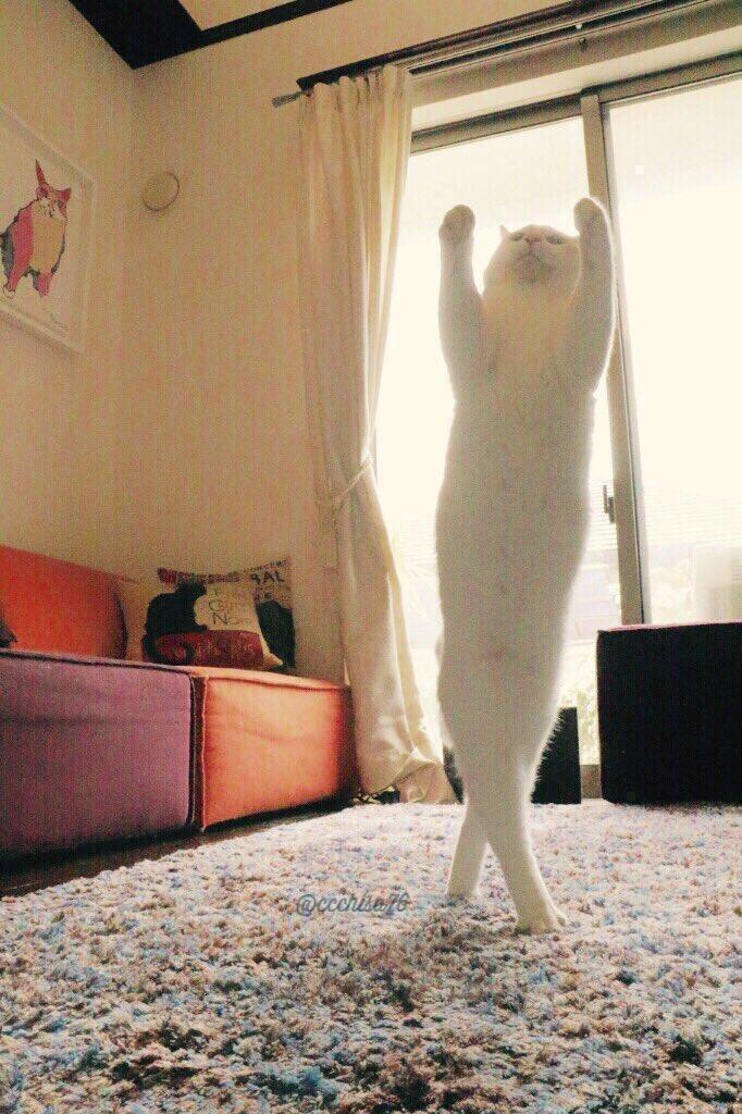 【猫ネタ】ネットで人気急上昇!!バレエダンサーのような華麗なる白猫「ミルコ」とは・・・!?