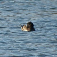 Tufted Duck near Marsh Creek State Park