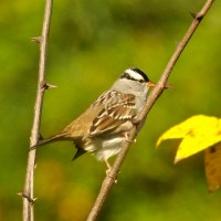 Migration of White-crowned Sparrow subspecies