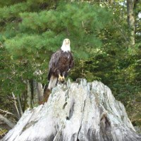 Bald Eagle eating another Bald Eagle