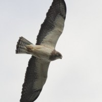 Determining Age and Color-type of Swainson's Hawks: Part 1