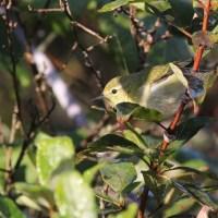 Tennessee Warbler vs. Orange-crowned Warbler