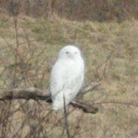 PA Snowy Owls 2011-12