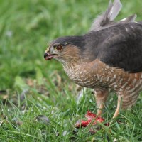 Sharp-shinned Hawk eating a starling!