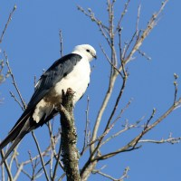 Swallow-tailed Kite Breeding Season