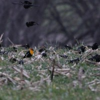 Yellow-headed Blackbirds in southern Lancaster, PA